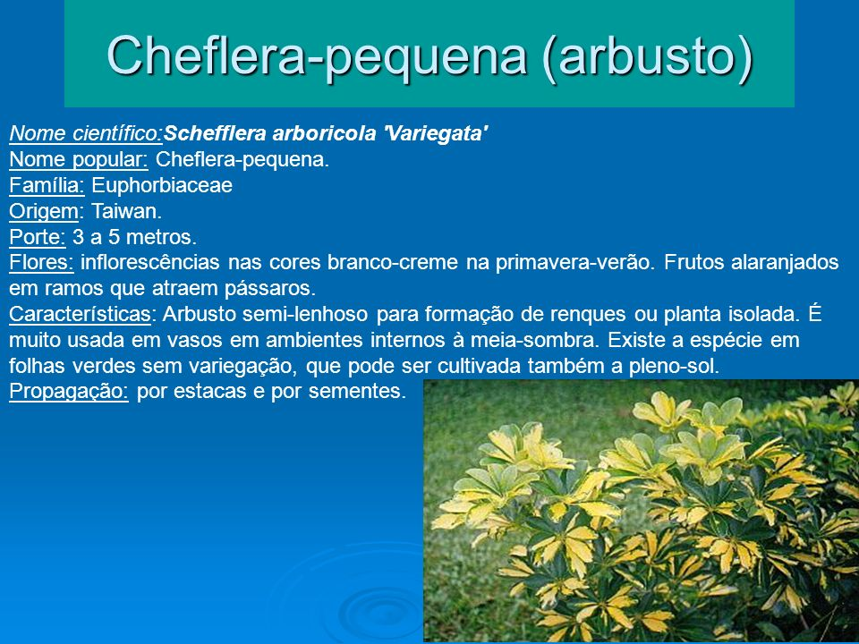 Cheflera-pequena (arbusto) Nome científico:Schefflera arboricola 'Variegata' Nome popular: Cheflera-pequena. Família: Euphorbiaceae Origem: Taiwan. Po