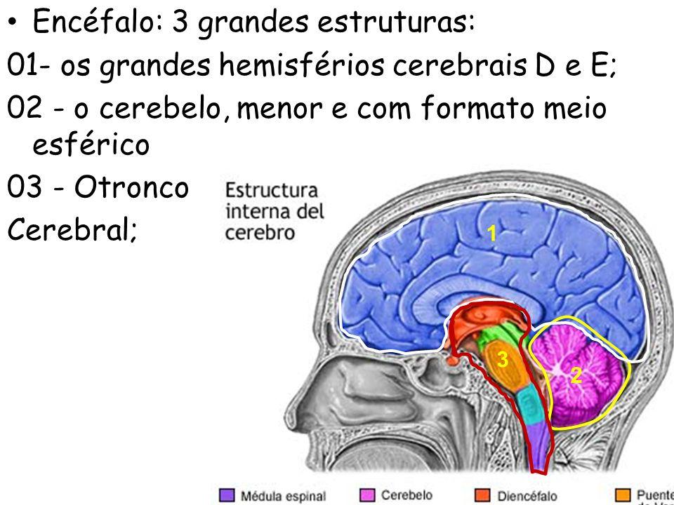 Encéfalo: 3 grandes estruturas: 01- os grandes hemisférios cerebrais D e E; 02 - o cerebelo, menor e com formato meio esférico 03 - Otronco Cerebral;