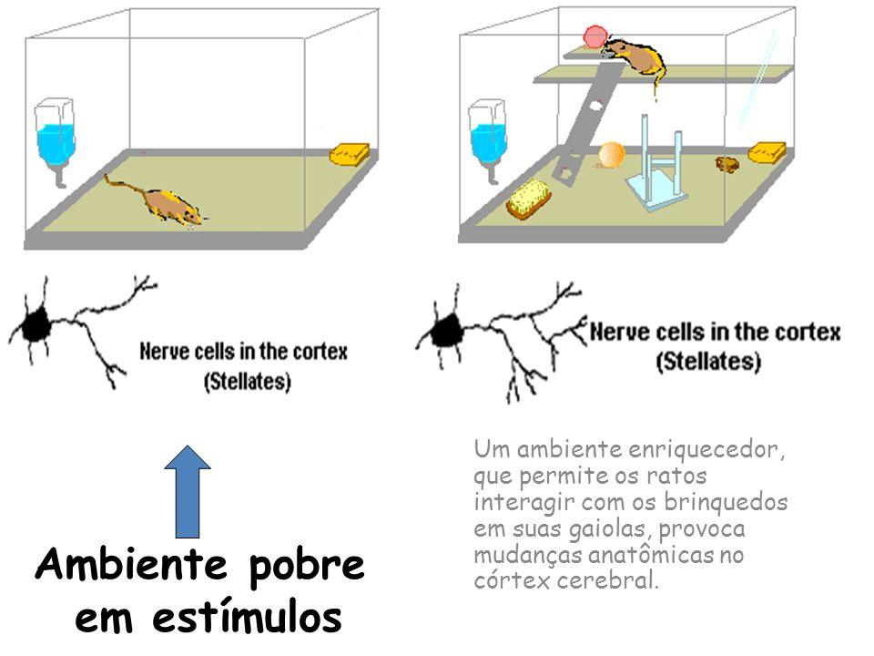 Um ambiente enriquecedor, que permite os ratos interagir com os brinquedos em suas gaiolas, provoca mudanças anatômicas no córtex cerebral. Ambiente p