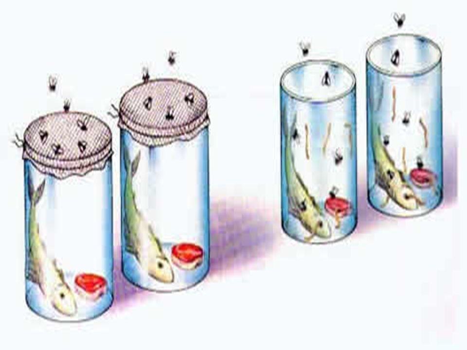 Origem da vida Os frascos com pescoço de cisne: novo experimento Os frascos com pescoço de cisne: novo experimento Pasteur amoleceu os gargalos no fogo, esticando-os e curvando-os em forma de pescoço de cisne; em seguida ferveu os caldos até que saísse vapor pela extremidade dos gargalos Pasteur amoleceu os gargalos no fogo, esticando-os e curvando-os em forma de pescoço de cisne; em seguida ferveu os caldos até que saísse vapor pela extremidade dos gargalos À medida que esfriava, o ar penetrava pelo gargalo, mas as partículas do ar ficavam retidas nas paredes do gargalo em forma de pescoço; Nenhum frasco se contaminou À medida que esfriava, o ar penetrava pelo gargalo, mas as partículas do ar ficavam retidas nas paredes do gargalo em forma de pescoço; Nenhum frasco se contaminou Derrubada definitiva da hipótese da geração espontânea Derrubada definitiva da hipótese da geração espontânea