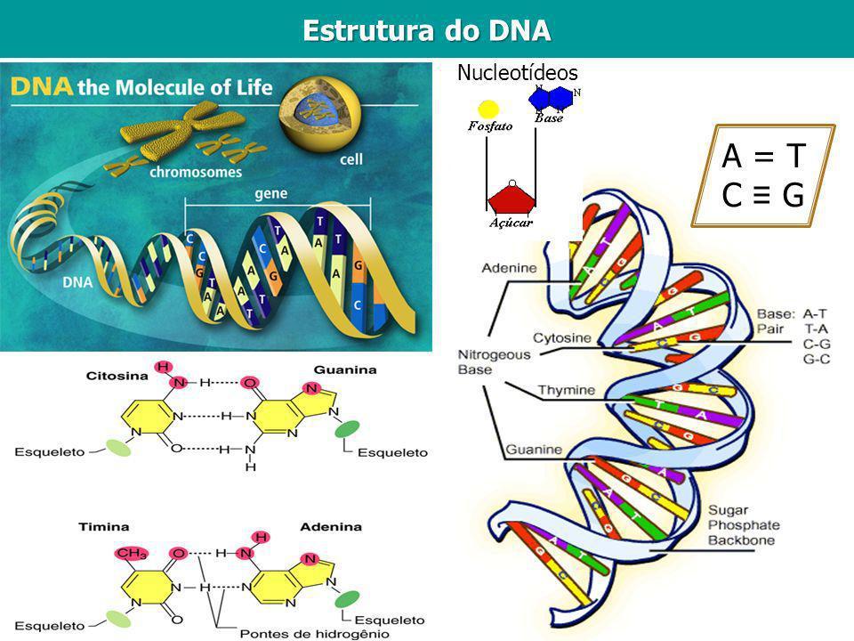 Estrutura do DNA A = T C G Nucleotídeos