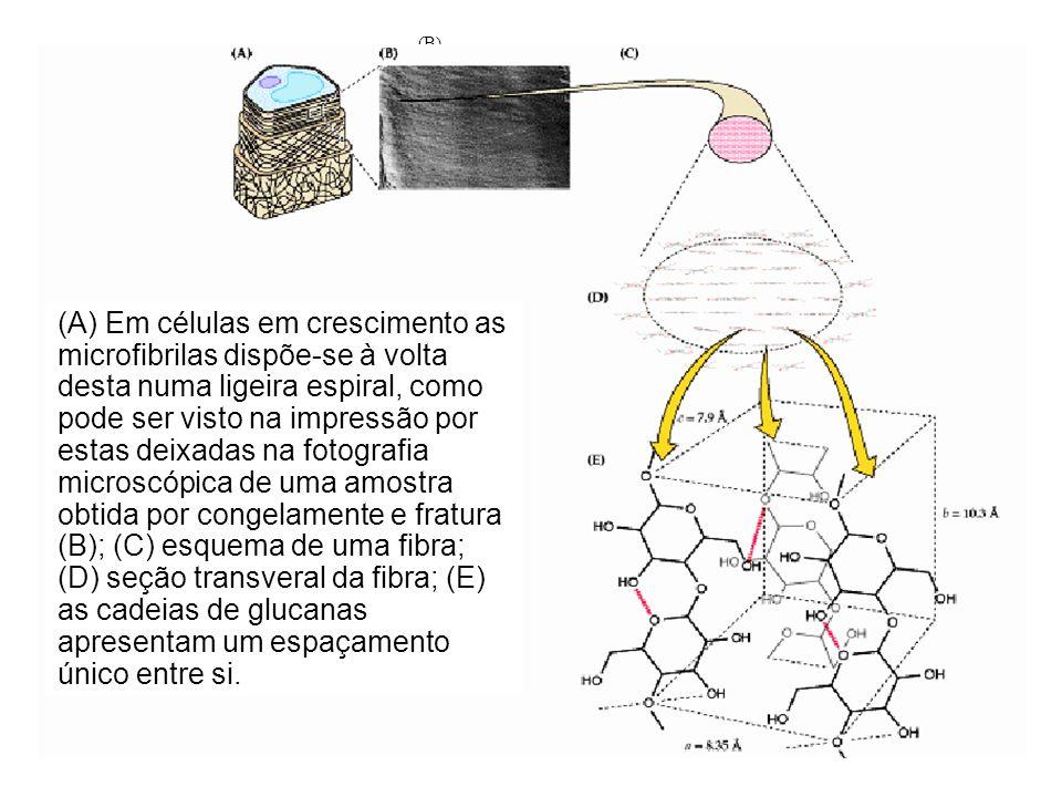 (C)(A) (B) (E) (D) a = 8,35 Å b = 10.3 Å c = 7,9 Å (A) Em células em crescimento as microfibrilas dispõe-se à volta desta numa ligeira espiral, como p