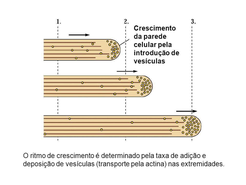 Crescimento da parede celular pela introdução de vesículas O ritmo de crescimento é determinado pela taxa de adição e deposição de vesículas (transpor