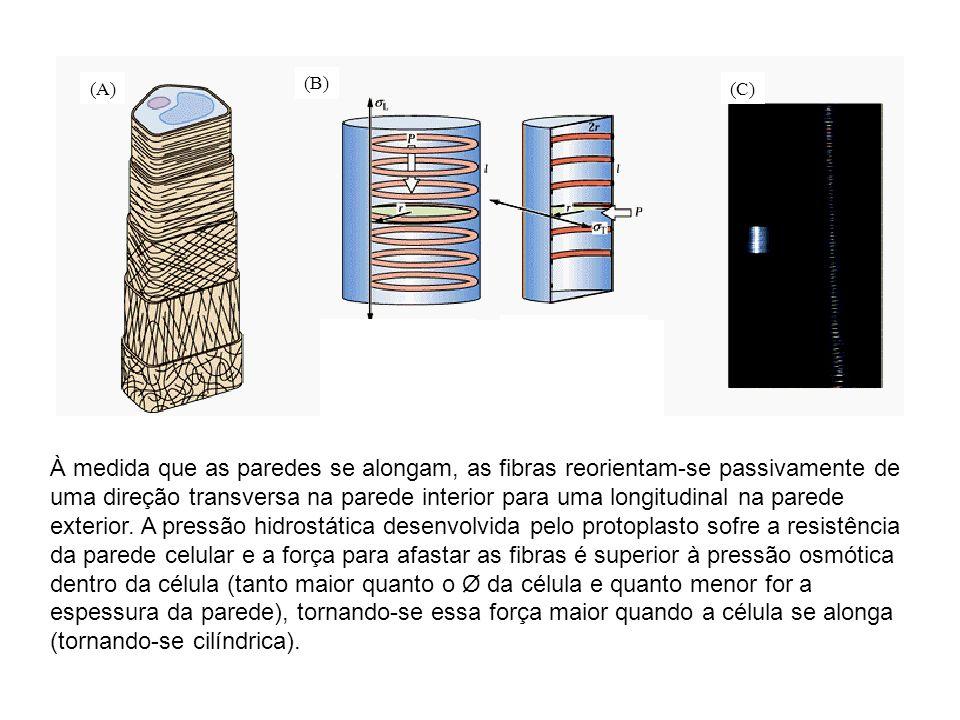 (A) (B) (C) P * r 2 = L * 2 r * l P * r 2l = L P *2r*l = T * 2l * l P * r l = T T = 2 L À medida que as paredes se alongam, as fibras reorientam-se pa