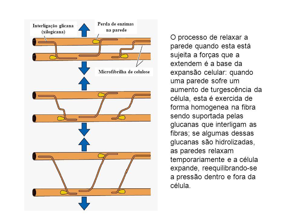 Interligação glicana (xilogicana) Perda de enzimas na parede Microfibrilha de celulose O processo de relaxar a parede quando esta está sujeita a força