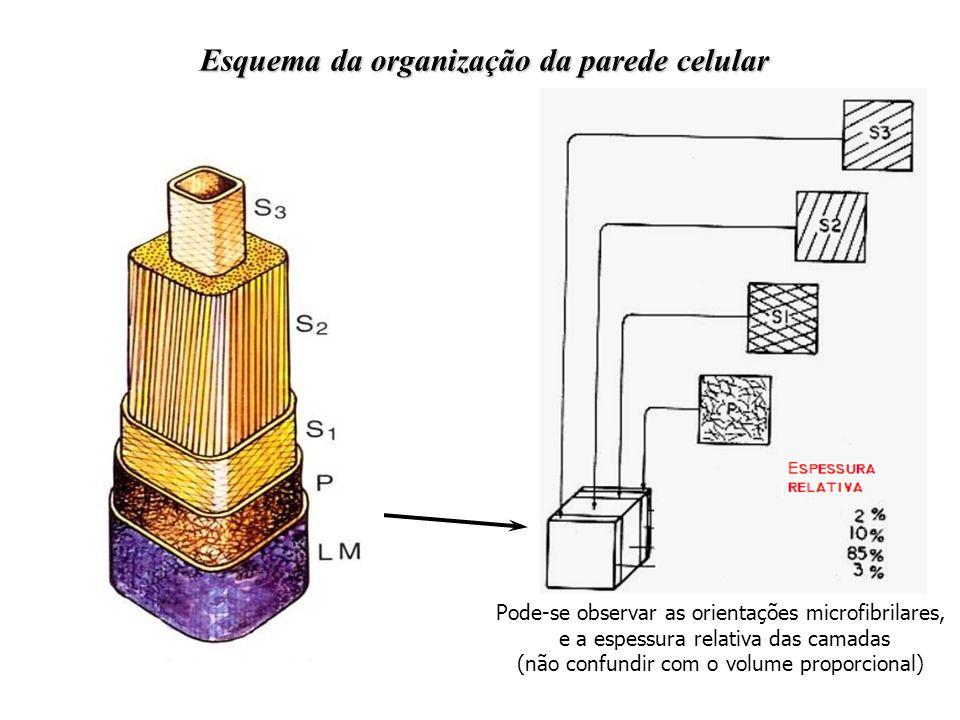 Esquema da organização da parede celular Pode-se observar as orientações microfibrilares, e a espessura relativa das camadas (não confundir com o volu