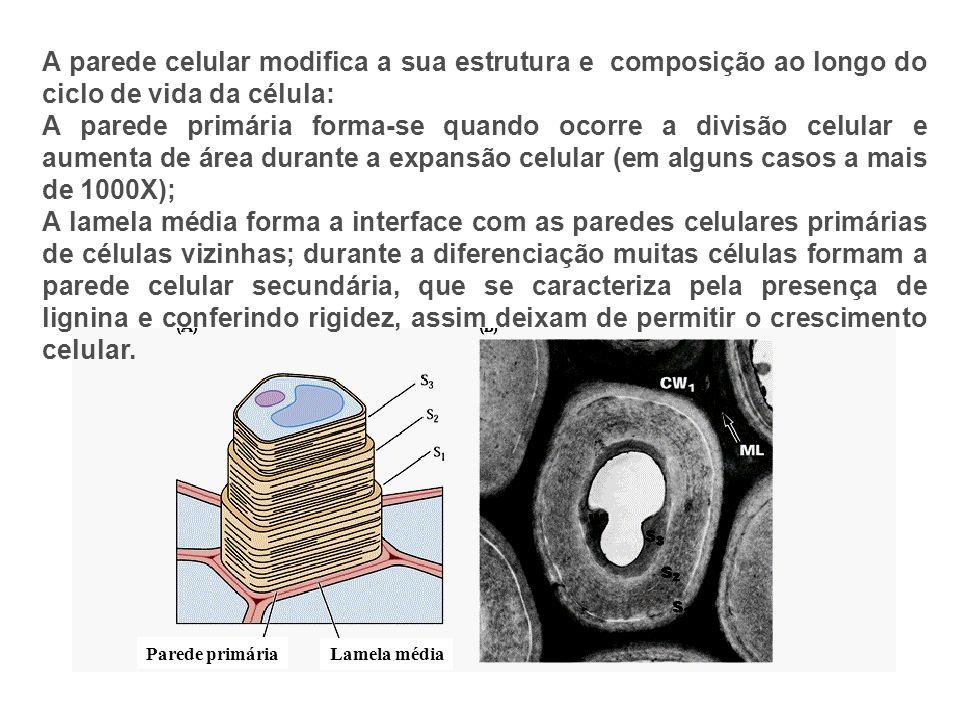 A parede celular modifica a sua estrutura e composição ao longo do ciclo de vida da célula: A parede primária forma-se quando ocorre a divisão celular