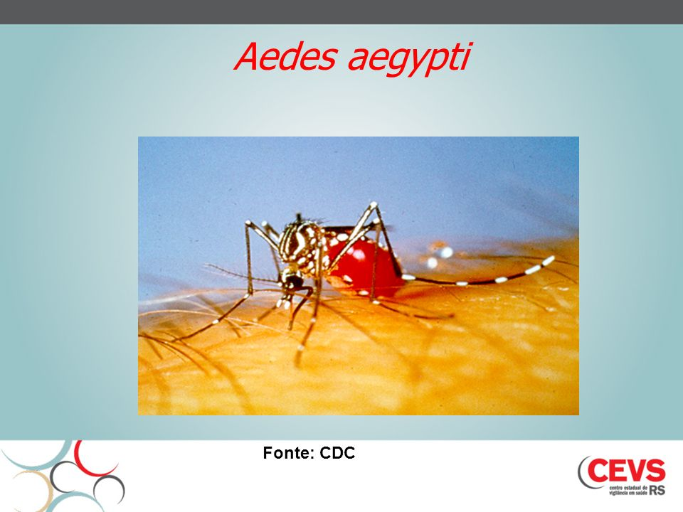Aedes aegypti Fonte: CDC