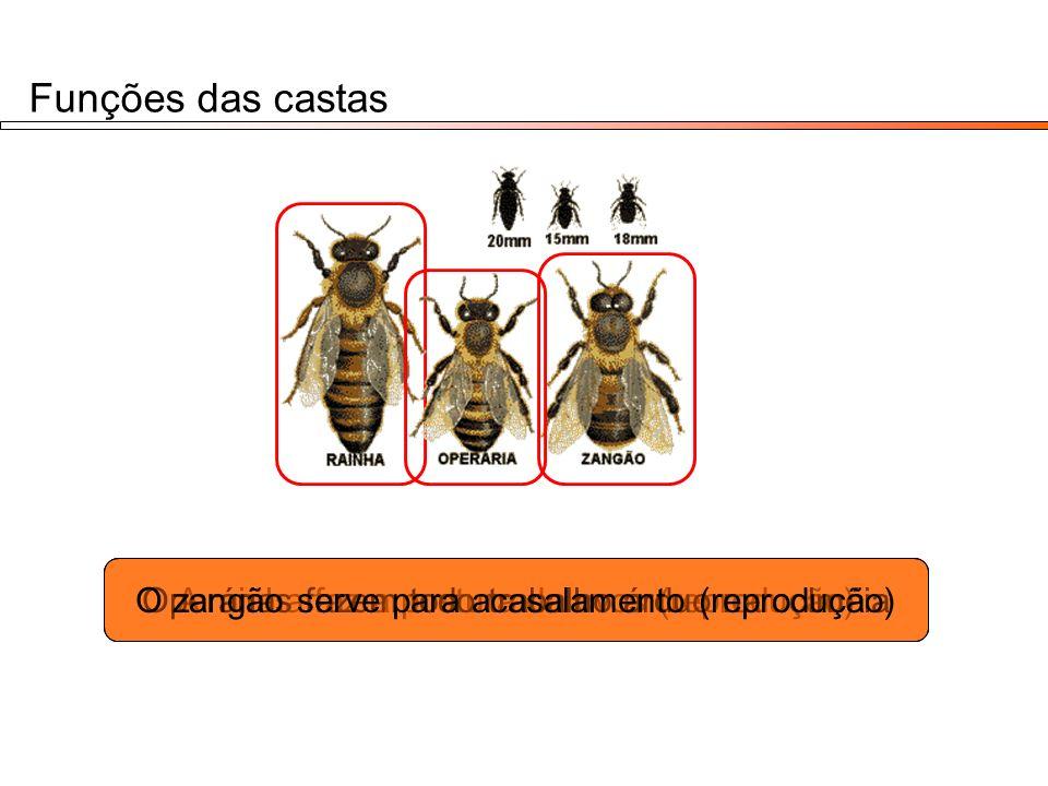 Funções das castas A rainha faz a postura de ovos (reprodução)Operárias fazem todo trabalho árduo na colméiaO zangão serve para acasalamento (reproduç