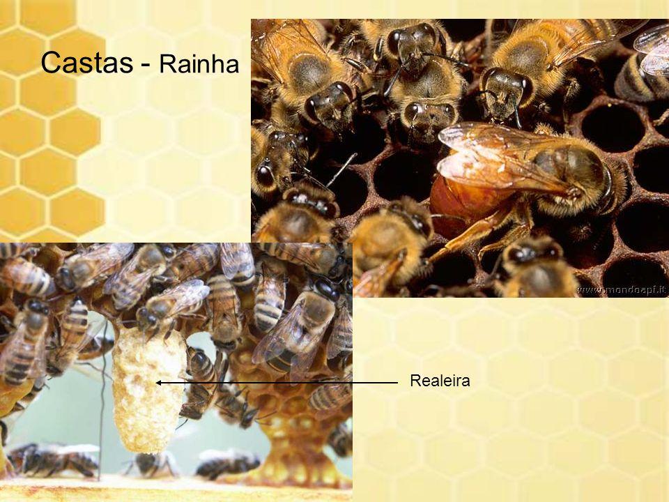 Castas - Rainha Realeira