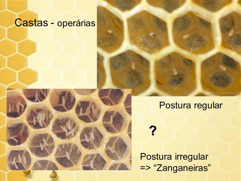 Castas - operárias Postura irregular => Zanganeiras Postura regular ?