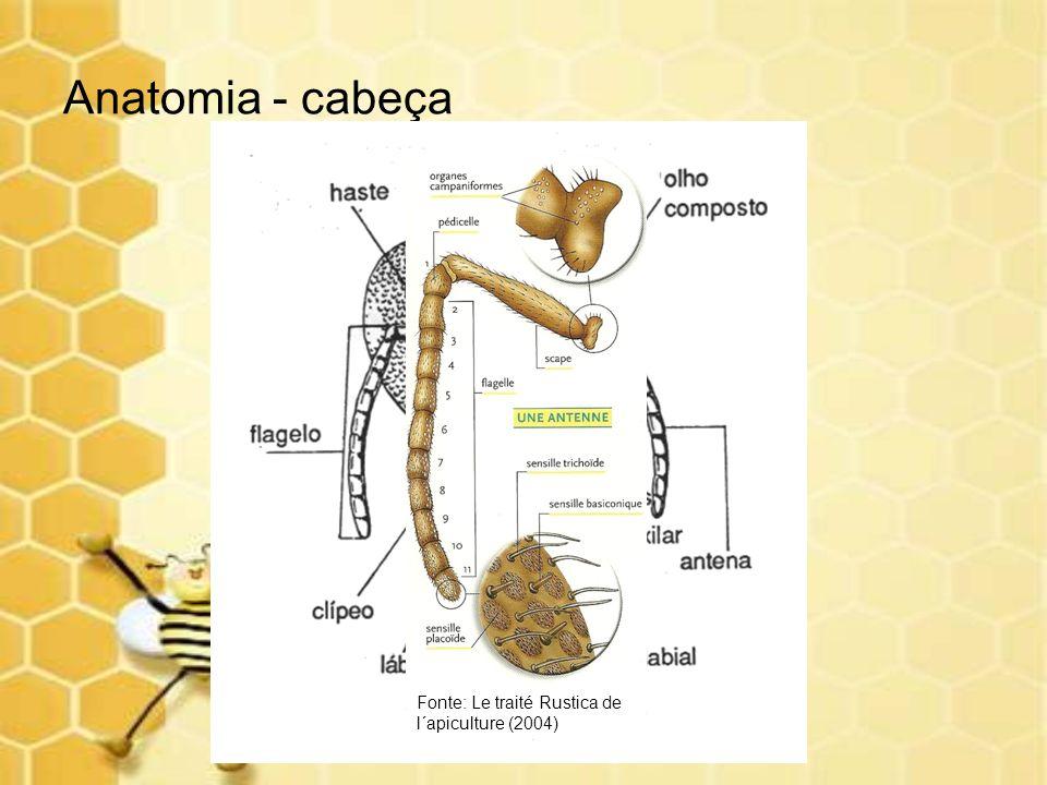 Anatomia - cabeça Fonte: Le traité Rustica de l´apiculture (2004)