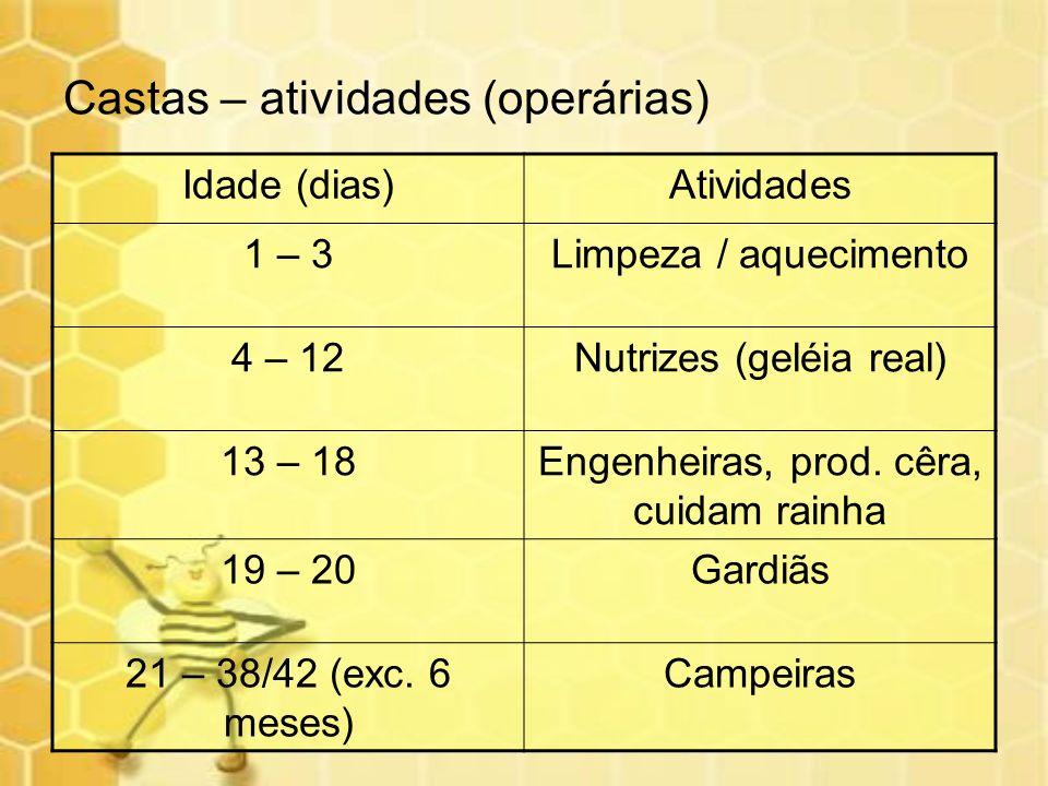 Castas – atividades (operárias) Idade (dias)Atividades 1 – 3Limpeza / aquecimento 4 – 12Nutrizes (geléia real) 13 – 18Engenheiras, prod. cêra, cuidam