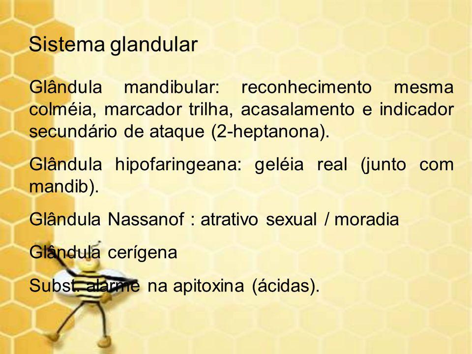 Sistema glandular Glândula mandibular: reconhecimento mesma colméia, marcador trilha, acasalamento e indicador secundário de ataque (2-heptanona). Glâ