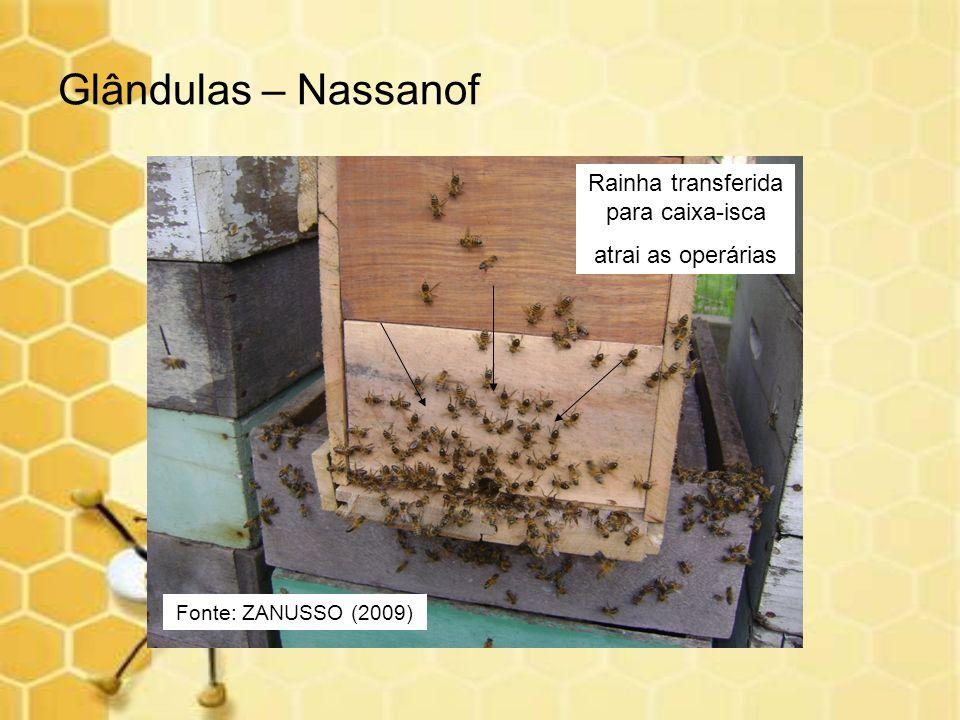 Glândulas – Nassanof Fonte: ZANUSSO (2009) Rainha transferida para caixa-isca atrai as operárias