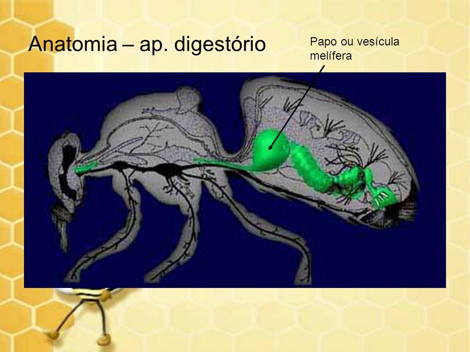 Anatomia – ap. digestório Papo ou vesícula melífera