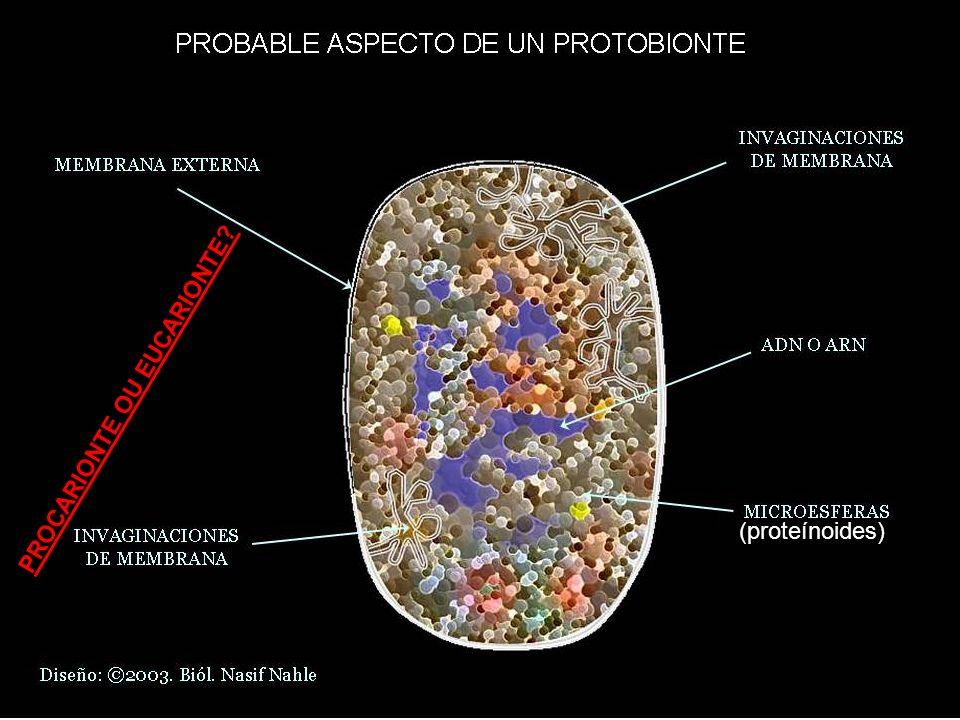 (proteínoides) PROCARIONTE OU EUCARIONTE?
