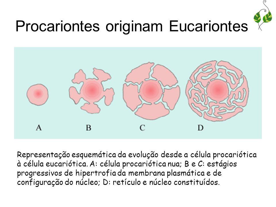 Procariontes originam Eucariontes Representação esquemática da evolução desde a célula procariótica à célula eucariótica. A: célula procariótica nua;