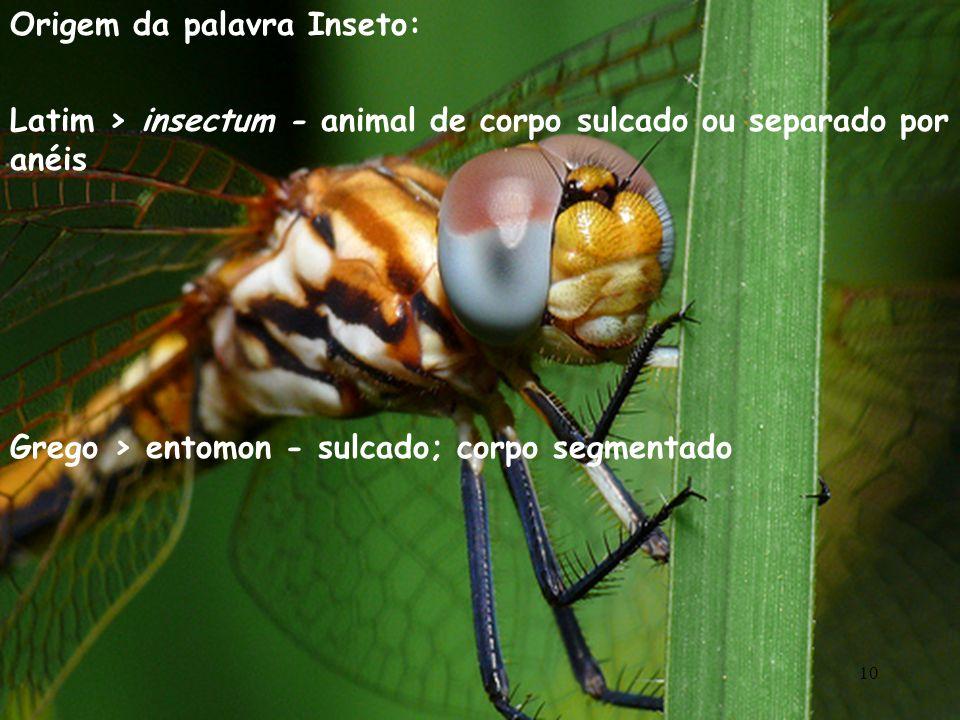 Origem da palavra Inseto: Latim > insectum - animal de corpo sulcado ou separado por anéis Grego > entomon - sulcado; corpo segmentado 10