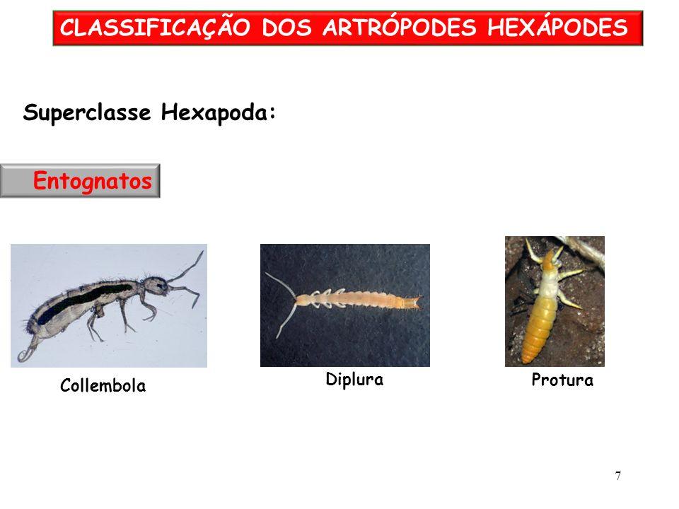 CLASSIFICAÇÃO DOS ARTRÓPODES HEXÁPODES Collembola Protura Diplura Superclasse Hexapoda: Entognatos 7