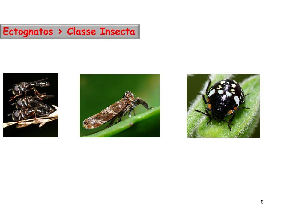 Ectognatos > Classe Insecta 8