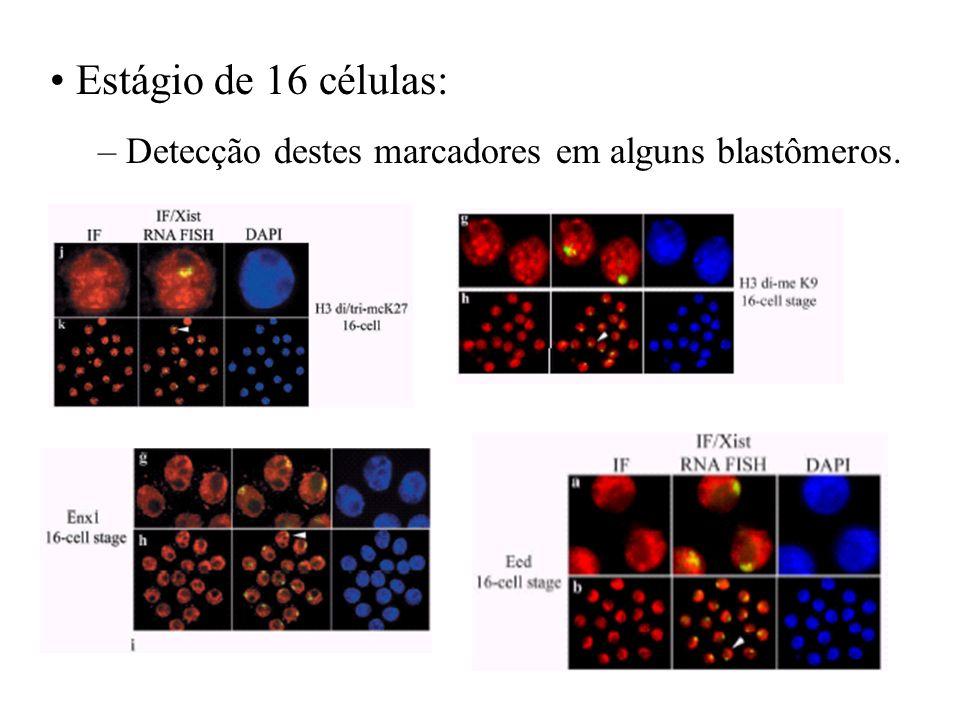 Estágio de 16 células: – Detecção destes marcadores em alguns blastômeros.