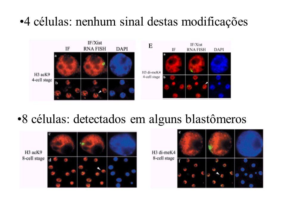 4 células: nenhum sinal destas modificações 8 células: detectados em alguns blastômeros