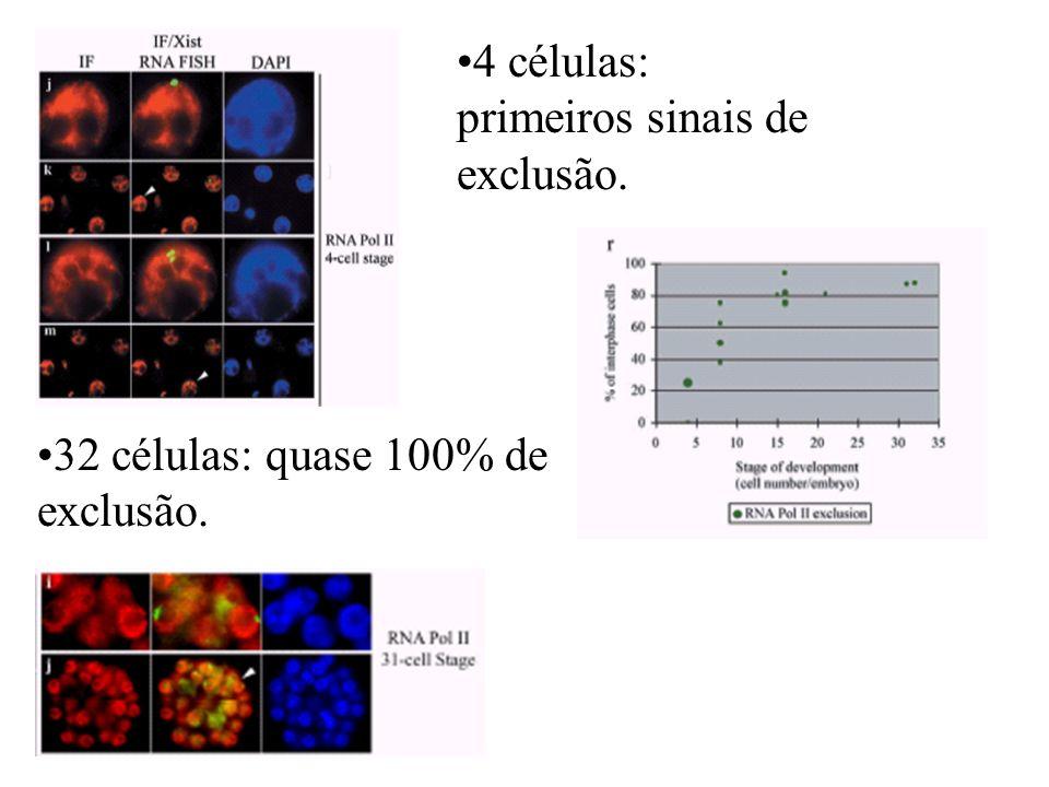 4 células: primeiros sinais de exclusão. 32 células: quase 100% de exclusão.