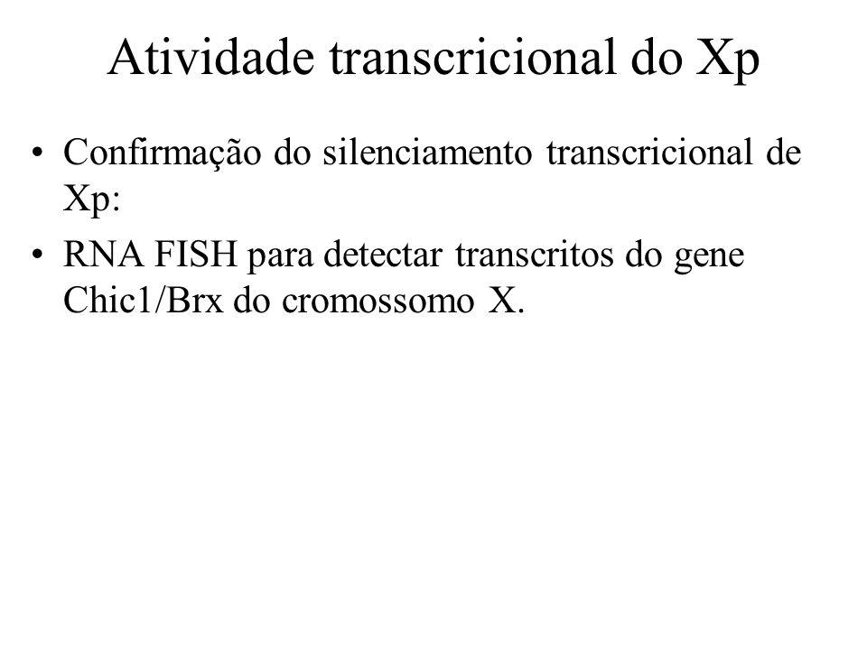 Confirmação do silenciamento transcricional de Xp: RNA FISH para detectar transcritos do gene Chic1/Brx do cromossomo X. Atividade transcricional do X