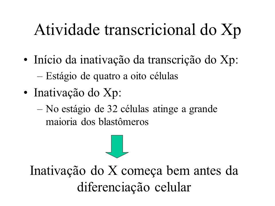 Início da inativação da transcrição do Xp: –Estágio de quatro a oito células Inativação do Xp: –No estágio de 32 células atinge a grande maioria dos b