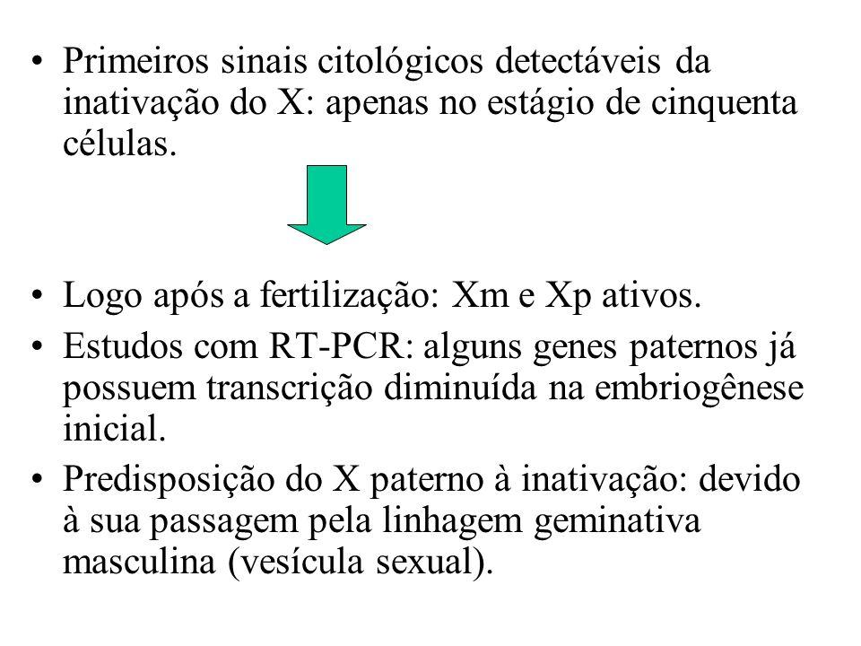 Primeiros sinais citológicos detectáveis da inativação do X: apenas no estágio de cinquenta células. Logo após a fertilização: Xm e Xp ativos. Estudos