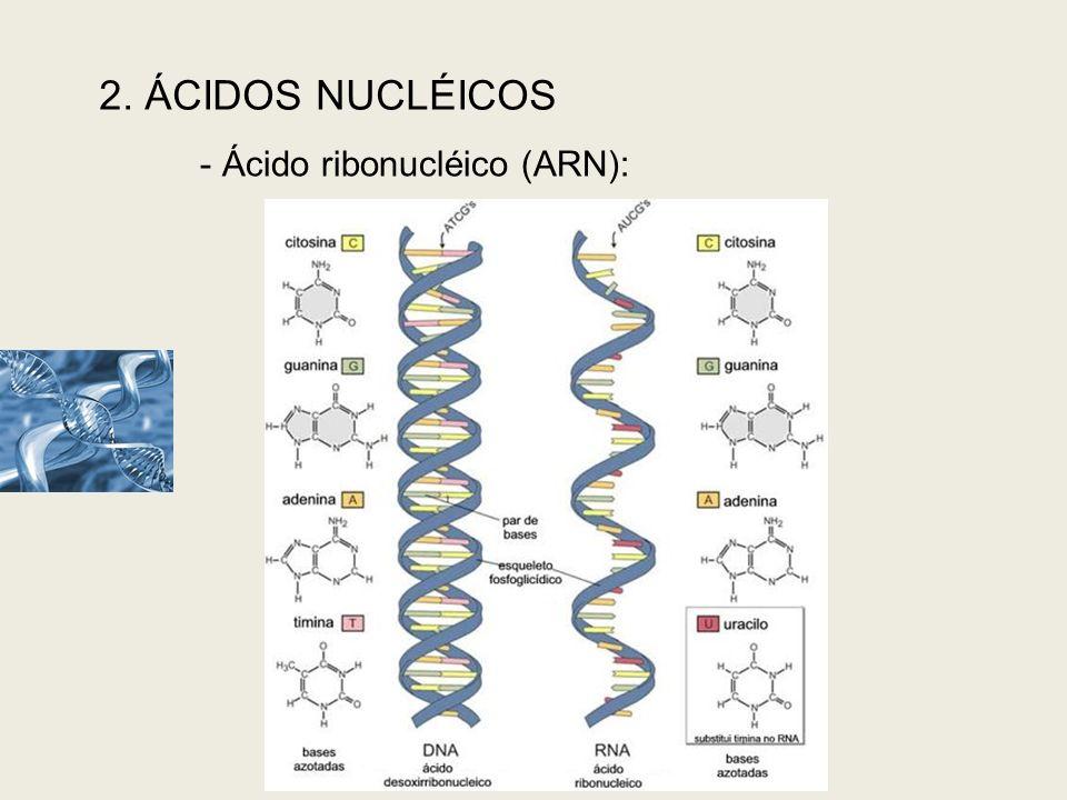 2. ÁCIDOS NUCLÉICOS - Ácido ribonucléico (ARN): A estrutura química do ARN
