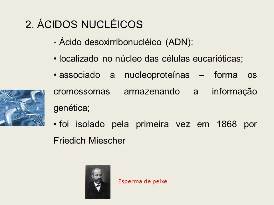 2. ÁCIDOS NUCLÉICOS - Ácido desoxirribonucléico (ADN): localizado no núcleo das células eucarióticas; associado a nucleoproteínas – forma os cromossom