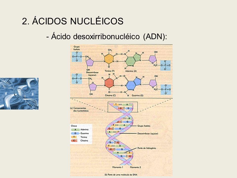2. ÁCIDOS NUCLÉICOS - Ácido desoxirribonucléico (ADN):