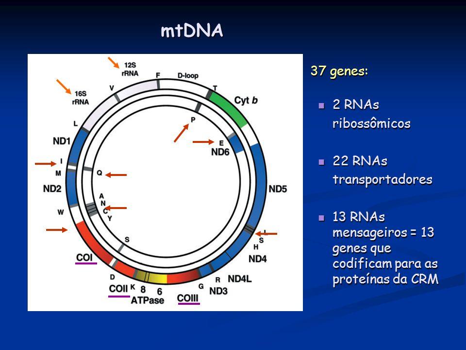 37 genes: 2 RNAs ribossômicos 22 RNAs transportadores 13 RNAs mensageiros = 13 genes que codificam para as proteínas da CRM mtDNA