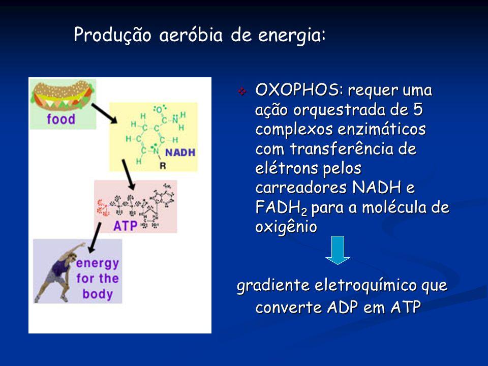 v OXOPHOS: requer uma ação orquestrada de 5 complexos enzimáticos com transferência de elétrons pelos carreadores NADH e FADH 2 para a molécula de oxi