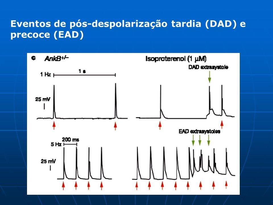 Discussão DAD e EAD são semelhantes as arritimias letais humanas, provavelmente causada pela elevação [Ca + ]i; A inibição da Na/K ATPases resulta em um aumento de [Ca + ]i por primeiramente produzir um aumento no Na, levando a redução da extrusão do Ca pelo NCX1 para o espaço extracelular; A não alteração do influxo de Ca juntamente com uma pequena redução de NCX1, e a redução da Na/K ATPases leva ao aumento do Ca intracelular;