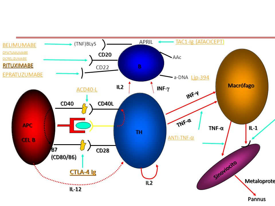 CTLA-4 Ig TNF-α Pannus Metaloproteinases IL-1 INF-γ IL-12 TH Sinoviocito Macrófago APC CD40CD40L B7(CD80/86) CD28 IL2 B IL2 TNF-α RITUXIMABE CD20 INF-