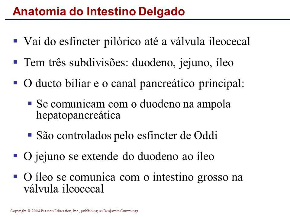 Copyright © 2004 Pearson Education, Inc., publishing as Benjamin Cummings Anatomia do Intestino Delgado Vai do esfíncter pilórico até a válvula ileoce