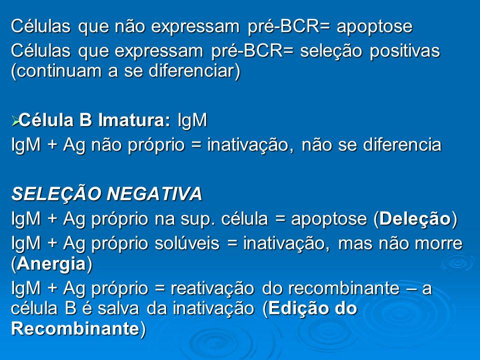 Células que não expressam pré-BCR= apoptose Células que expressam pré-BCR= seleção positivas (continuam a se diferenciar) Célula B Imatura: IgM Célula