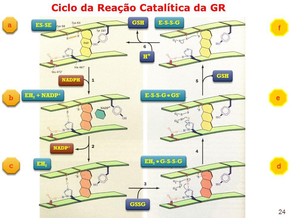 Ciclo da Reação Catalítica da GR e b b c c f d a a ES-SE NADPH EH 2 + NADP + NADP + EH 2 GSSG GSH H+H+ H+H+ E-S-S-G GS - EH 2 G-S-S-G E-S-S-G 24
