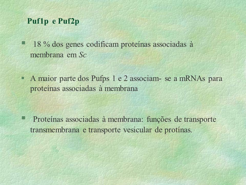 Puf1p e Puf2p § 18 % dos genes codificam proteínas associadas à membrana em Sc §A maior parte dos Pufps 1 e 2 associam- se a mRNAs para proteínas asso