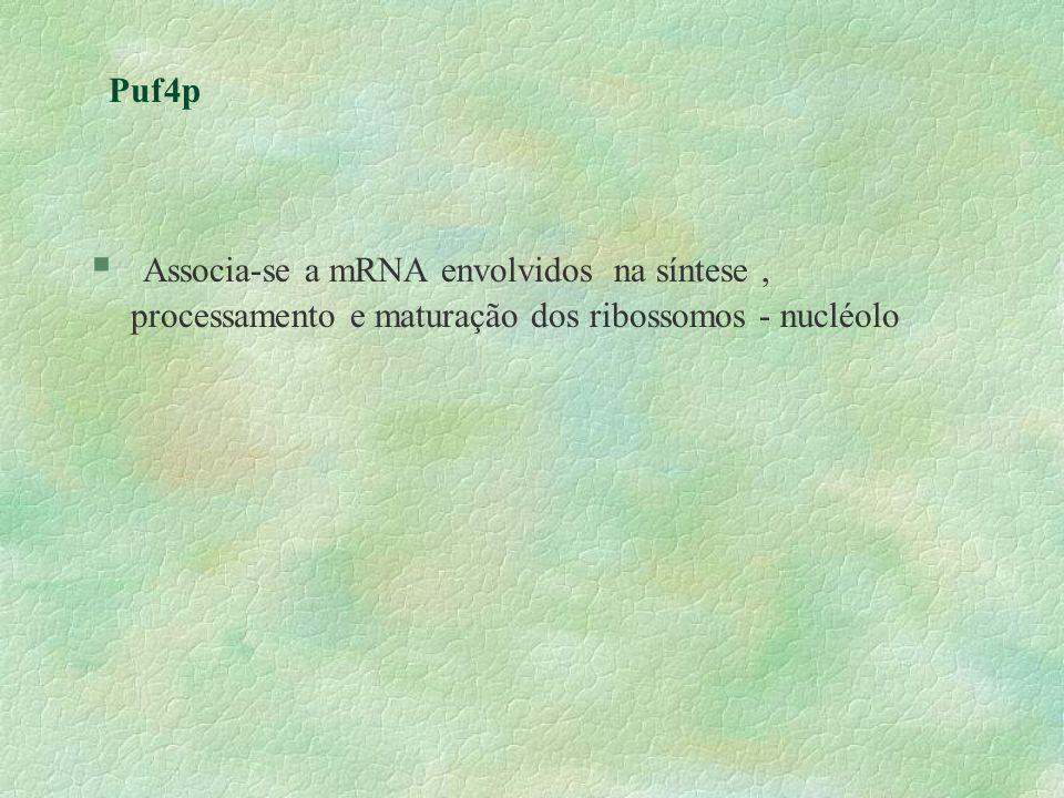 Puf4p § Associa-se a mRNA envolvidos na síntese, processamento e maturação dos ribossomos - nucléolo