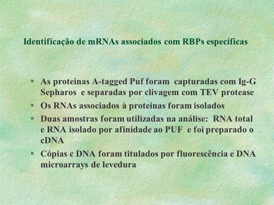 Identificação de mRNAs associados com RBPs específicas §As proteinas A-tagged Puf foram capturadas com Ig-G Sepharos e separadas por clivagem com TEV