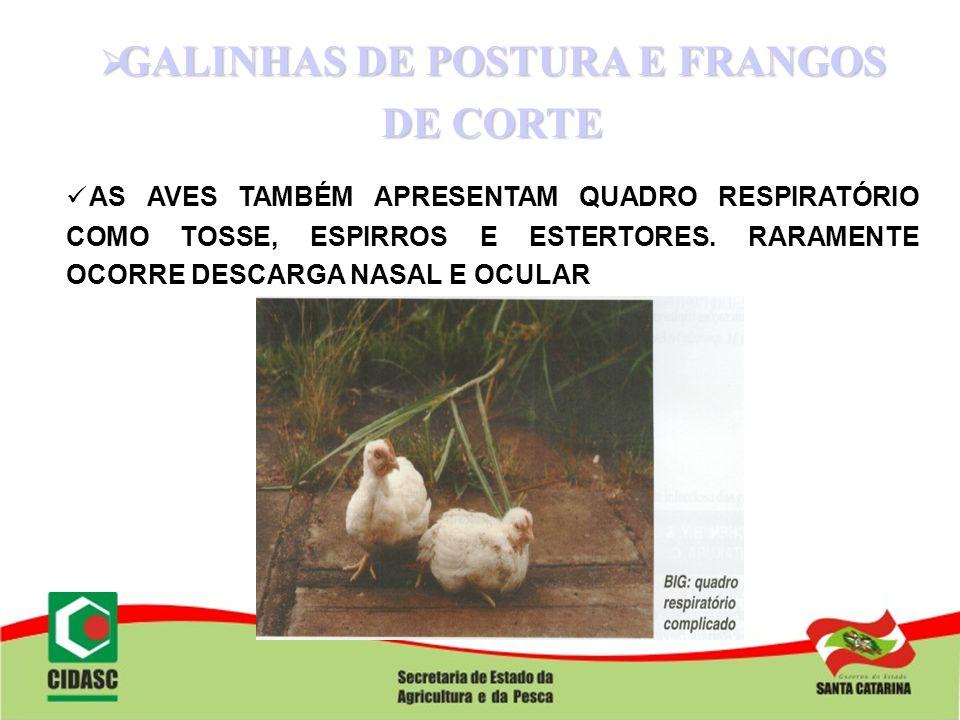 GALINHAS DE POSTURA E FRANGOS DE CORTE GALINHAS DE POSTURA E FRANGOS DE CORTE AS AVES TAMBÉM APRESENTAM QUADRO RESPIRATÓRIO COMO TOSSE, ESPIRROS E EST
