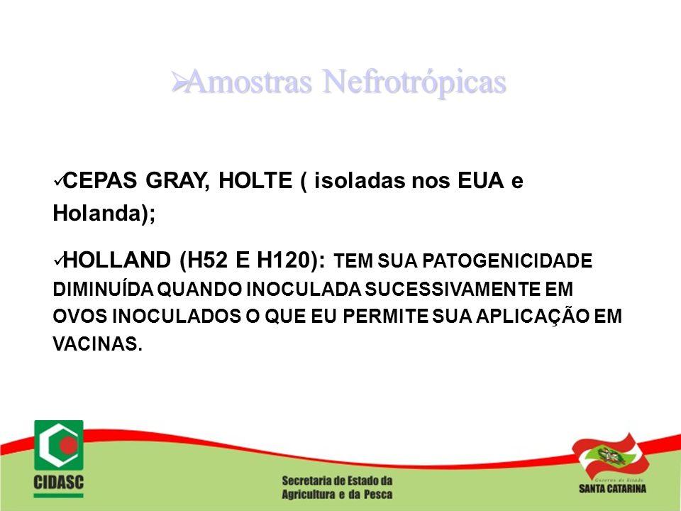 Amostras Nefrotrópicas Amostras Nefrotrópicas CEPAS GRAY, HOLTE ( isoladas nos EUA e Holanda); HOLLAND (H52 E H120): TEM SUA PATOGENICIDADE DIMINUÍDA