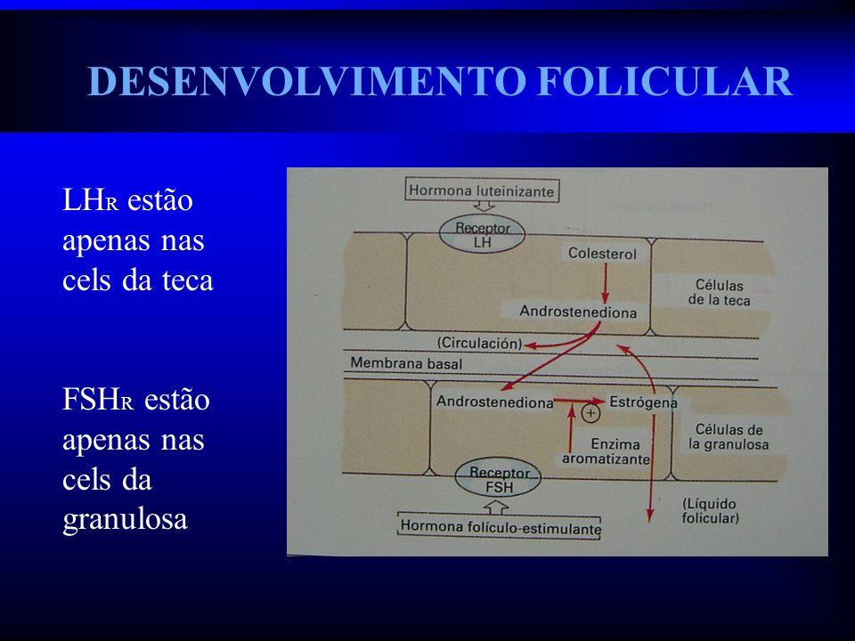 DESENVOLVIMENTO FOLICULAR LH R estão apenas nas cels da teca FSH R estão apenas nas cels da granulosa