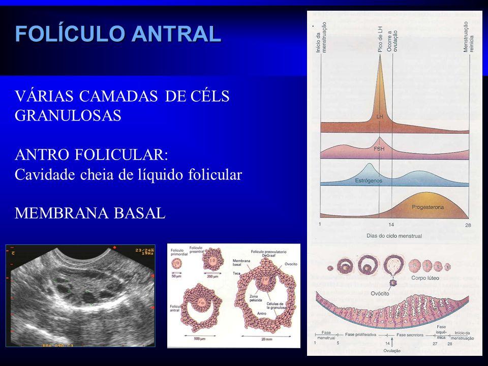 VÁRIAS CAMADAS DE CÉLS GRANULOSAS ANTRO FOLICULAR: Cavidade cheia de líquido folicular MEMBRANA BASAL FOLÍCULO ANTRAL