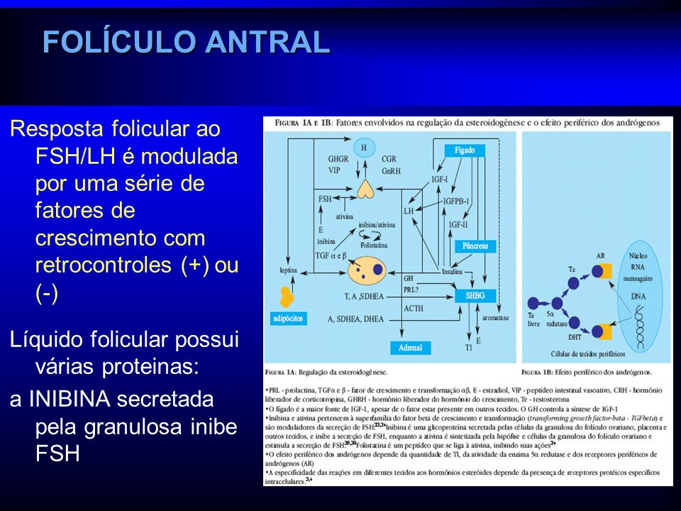 FOLÍCULO ANTRAL Resposta folicular ao FSH/LH é modulada por uma série de fatores de crescimento com retrocontroles (+) ou (-) Líquido folicular possui