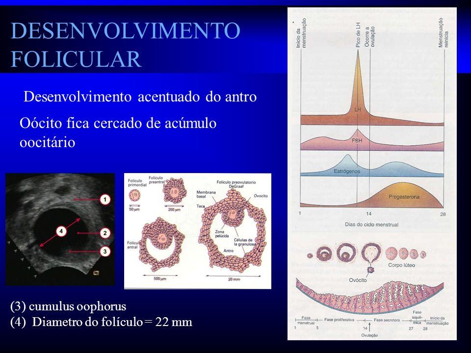 DESENVOLVIMENTO FOLICULAR Desenvolvimento acentuado do antro Oócito fica cercado de acúmulo oocitário (3) cumulus oophorus (4) Diametro do folículo =